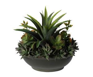 Planta decorativa – Grassa