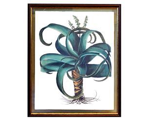 Stampa botanica con cornice Besler Aloe - 60x51 cm