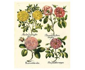 Stampa botanica Besler Rosa - 43,5x52 cm