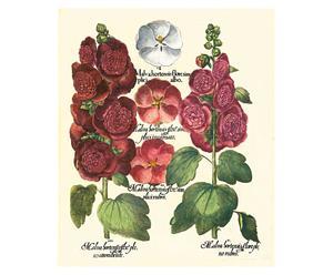 Stampa botanica Besler Malva - 43,5x52 cm