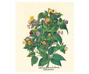 Stampa botanica Besler Indicum - 43,5x52 cm