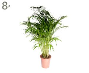 Set van 8 palm Chrysalidocarpus Lutescens, H 70-90 cm