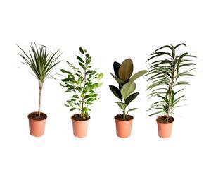 Set van 4 kamerplanten Junea, H 65-85 cm