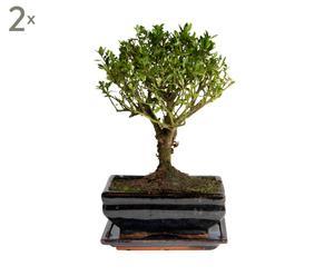 Set van 2 Bonsai boompjes Lioyla, H 28 cm