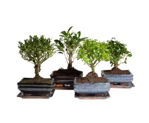 Set van 4 Bonsai boompjes Neuram, H 28 cm
