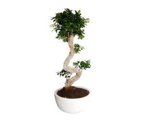 Bonsai Ficus Microcarpa, H 90 cm