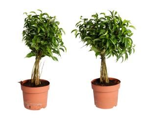 Set van 2 kamerplanten Ficus Babilatos, H 38 cm