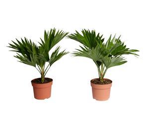 Set van 2 palmen Livingstonia, H 40 cm