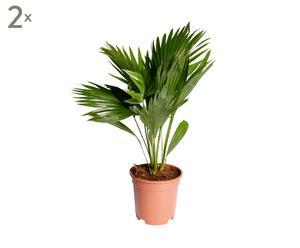 Set van 2 palmen Livingstonia, H 50-60 cm