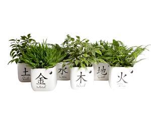 Set van 6 kamerplanten Feng Shui, H 20 cm