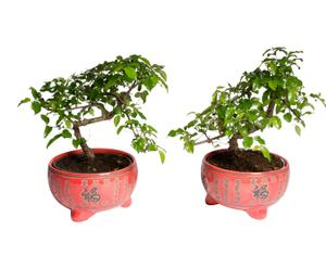 Set van 2 Bonsai boompjes Carmona, H 38 cm