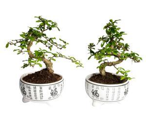Set van 2 Bonsai boompjes Sageretia, H 38 cm