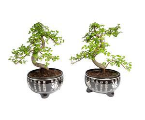 Set van 2 Bonsai boompjes Zelkova, H 38 cm