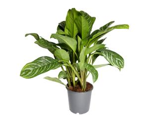 Kamerplant Aglaonema Stripes, H 90-100 cm