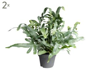 Set van 2 kamerplanten Phlebodium Aur, H 50-60 cm
