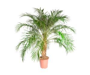 Palm Roebelenii, H 140-150 cm