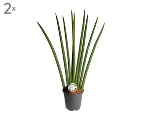 Set van 2 kamerplanten Sansivieria Cylindrica Fan, H 65-70 cm