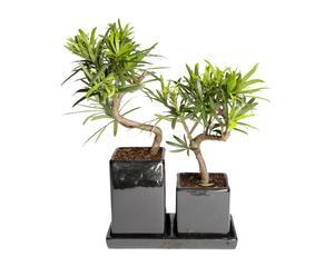 Set van 2 Bonsai boompjes Podocarpus, H 35 cm
