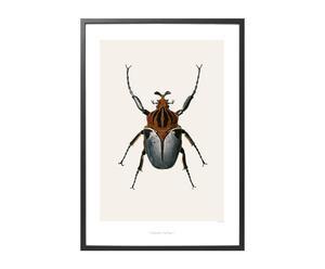 Poster Goliatus cacicus, 59 X 42 cm